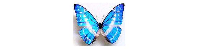 モルフォ蝶。綺麗ですね。