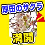 石狩厚田の戸田記念公園。桜のお花見は満開でした。
