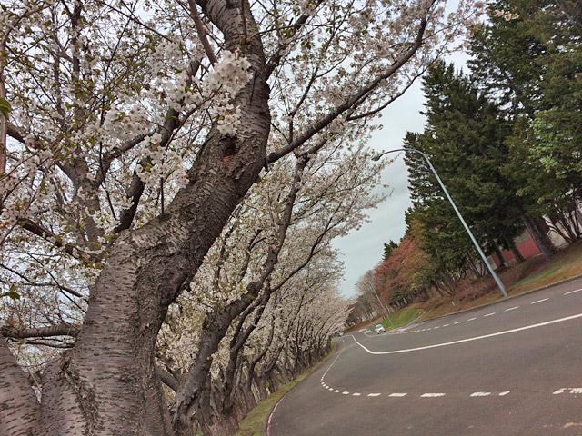 厚田の桜1