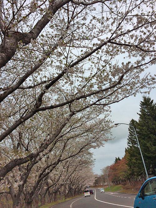 桜並木は満開