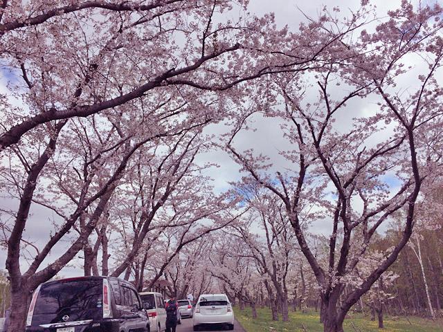 5/12の桜