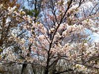 8000本の桜の木が園内に